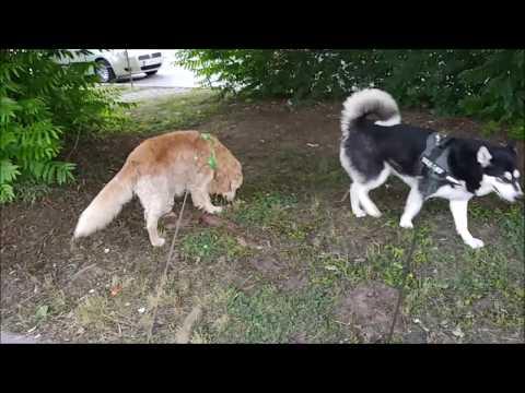 Alaskan Malamute takes Golden Retriever for a walk