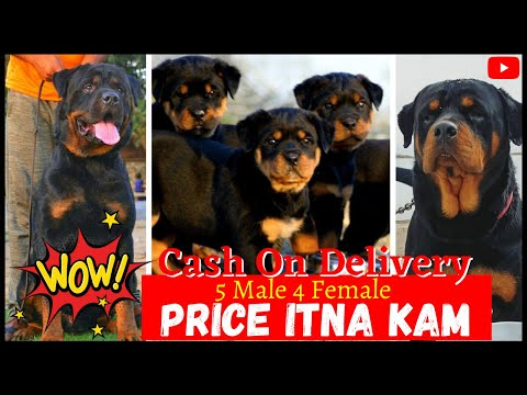 Full Heavy Bone High Quality Rottweiler Puppies for Sale | Quality Doggyz