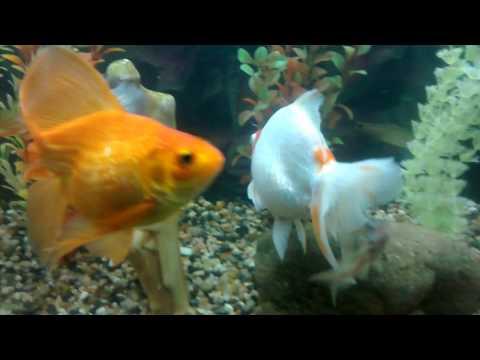 mis-peces-reproductores-!!!!!!!