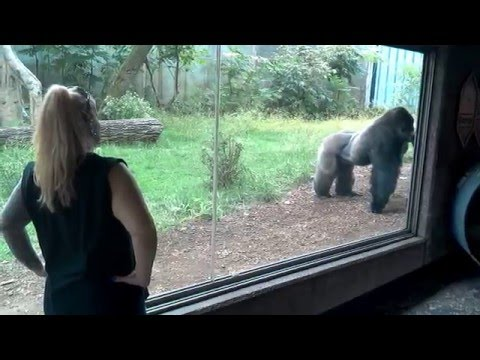 Silverback Gorillas Fighting Over Attention At Omaha Zoo