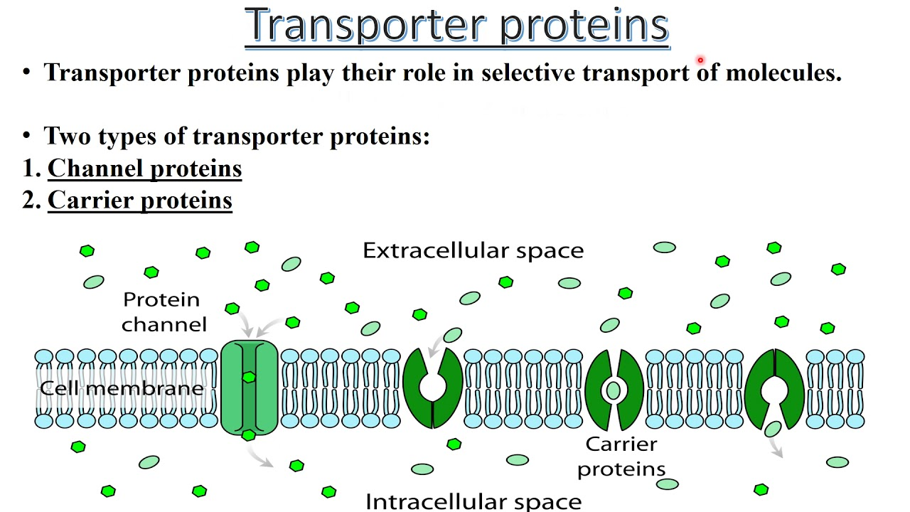 Transporter Proteins Basics Carrier Channel Mediated