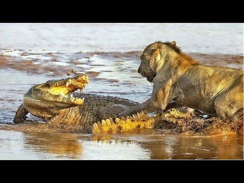 ایک شیر اور ایک بہت بڑا مگر مچھ کے درمیان شدید لڑائی- 98