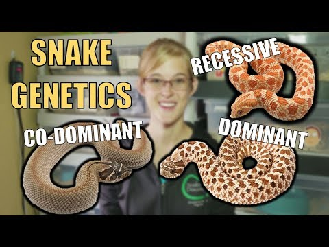 An Intro to Snake Genetics!