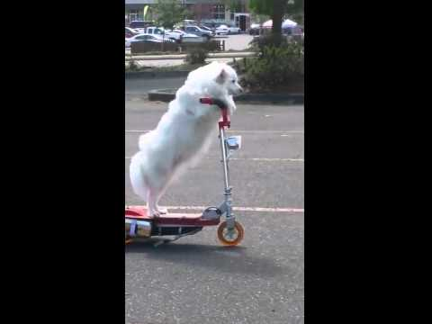 Dog & Joe Sho - #Fursday: Dog Rides A Scooter