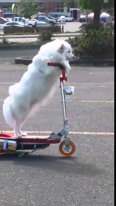 dog casually rides 3 wheeled scooter youtube. Black Bedroom Furniture Sets. Home Design Ideas