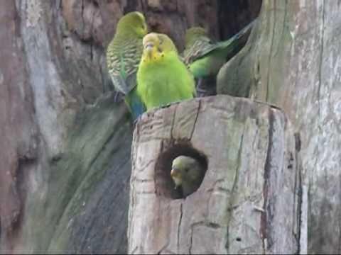Musical Budgies - Australian Parrots