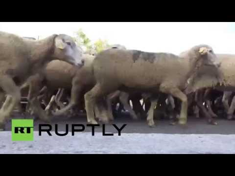Spain: Thousands of sheep flock to Madrid's city centre in pastoral tradition