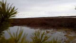 Охота на весенних гусей 2013 (2ч)