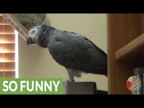 Parrot's amazing ability to reproduce various sound effects