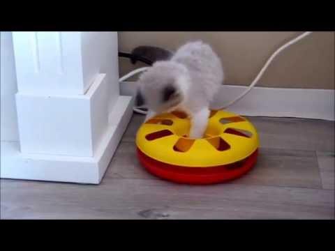Söpö Sepi - Cute Ragdoll Kitten playing