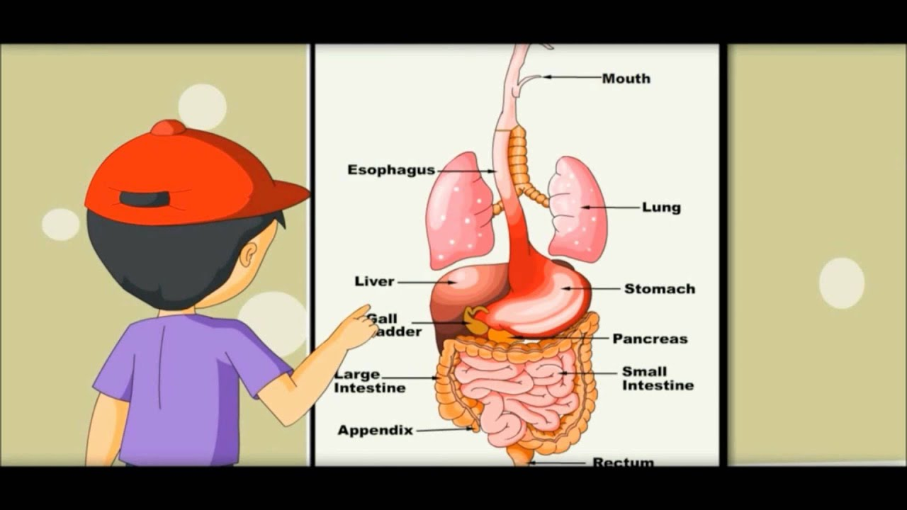 Digestive System - Learning by Picture & Chart -Kides - YouTube