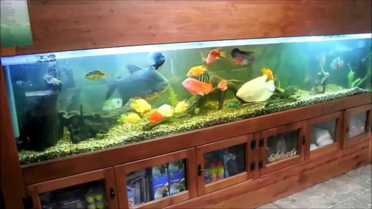 Acuario de exhibici n la casa del koi youtube - Peceras en casa ...