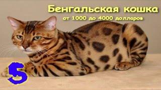 Самые дорогие и красивые кошки в мире!