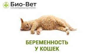Беременность у кошек. Ветеринарная клиника БИО-ВЕТ.