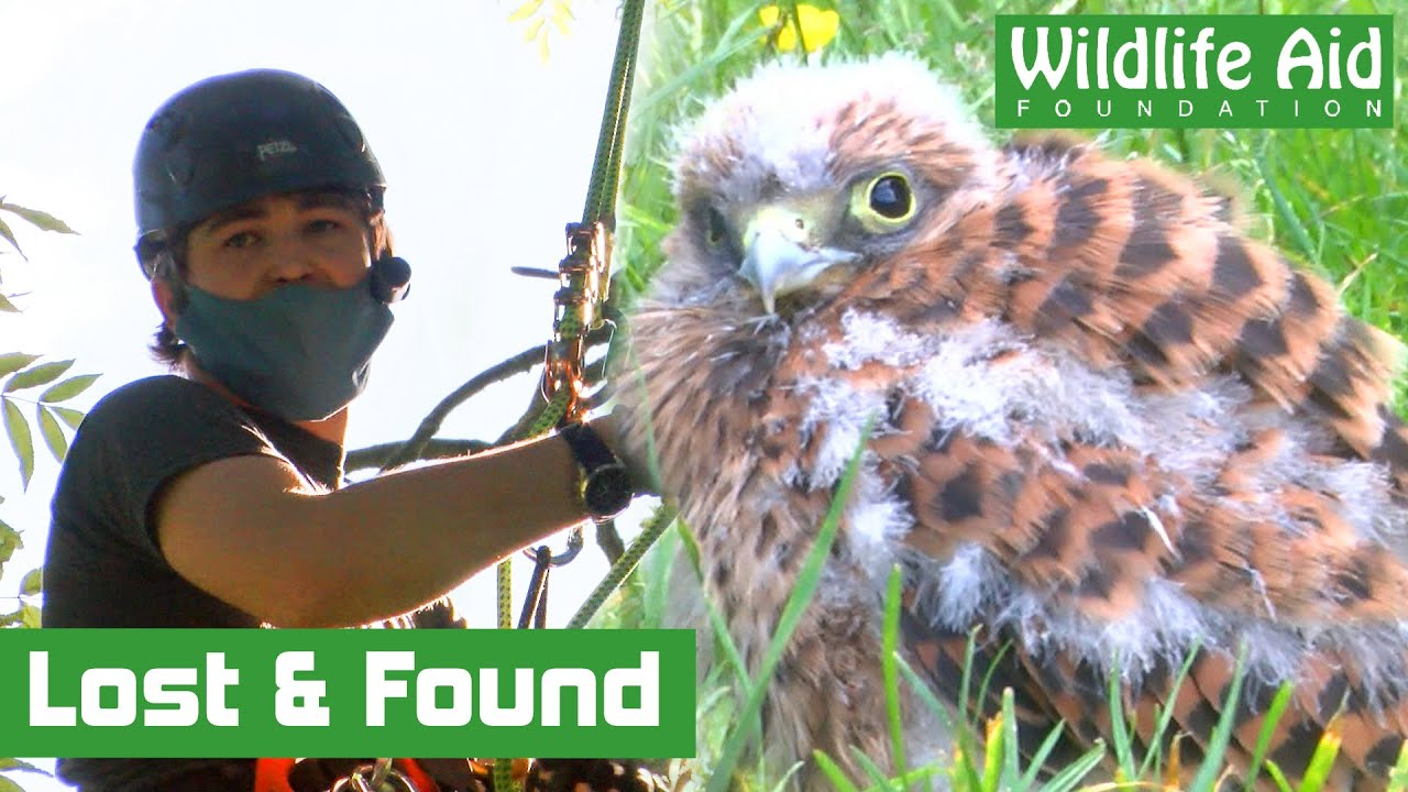BABY Kestrel reunited with its family!