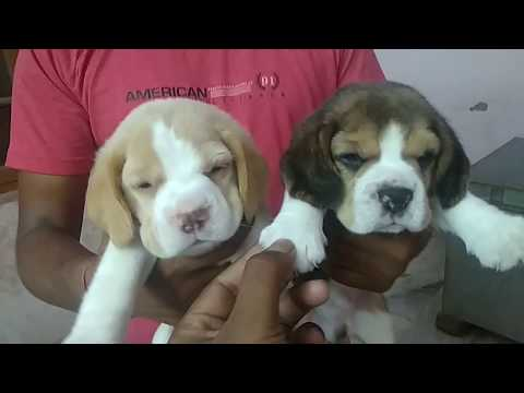Beagle puppy on sale -DOGGYZ WORLD