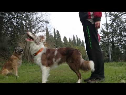 New dog tricks - Border collie Rysa 19 months