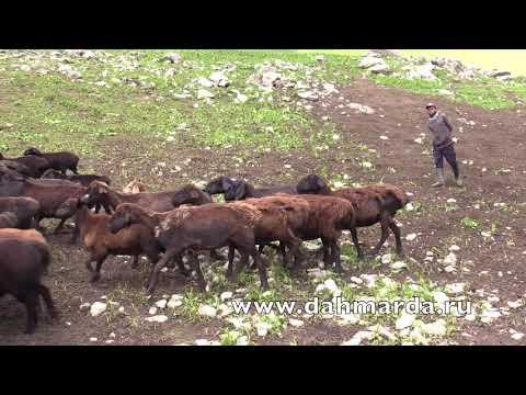 видео: Гиссарские овцематаки и ягнята в горах, июнь 2018