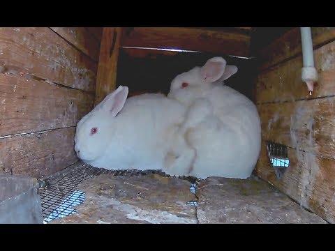 Как размножаются кролики видео