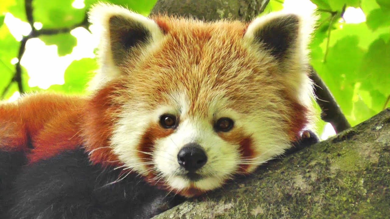 Red Panda Cute - The Worlds Cutest Animal - YouTube