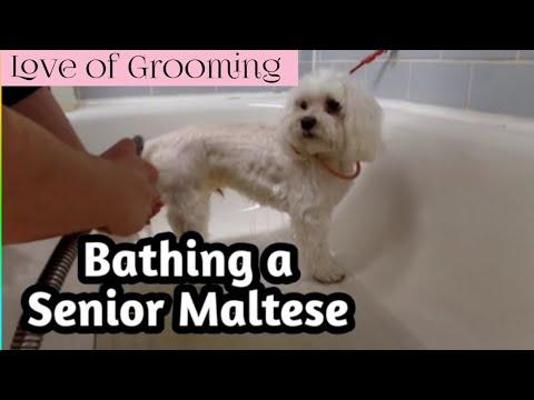 Bathing a Senior Maltese