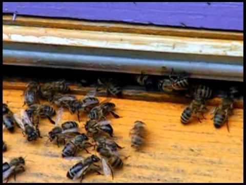 Ловим пчел воровок