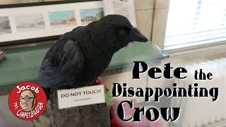 Pete the Disappointing Crow