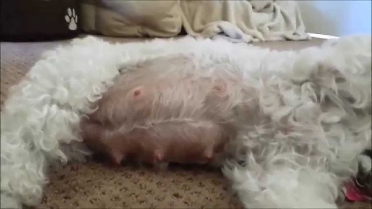 Long Small Dogs Pregnant