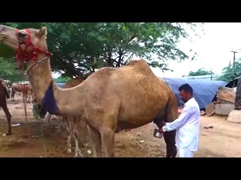 #MustWatchThis | Drinking Camel's Milk | Fresh Camel Milk | Healthy Streetfood