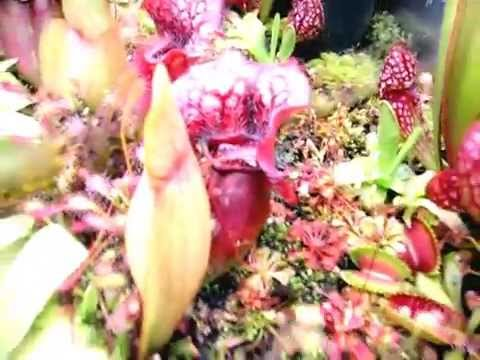 Equilibrio Carnivorous Plants Carnivorous Plants in a
