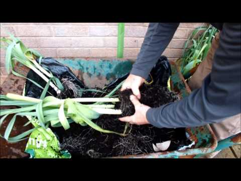"""HGV How to grow 10 Leeks in a 10"""" bucket, start to finish"""
