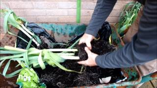 HGV How to grow 10 Leeks in a 10