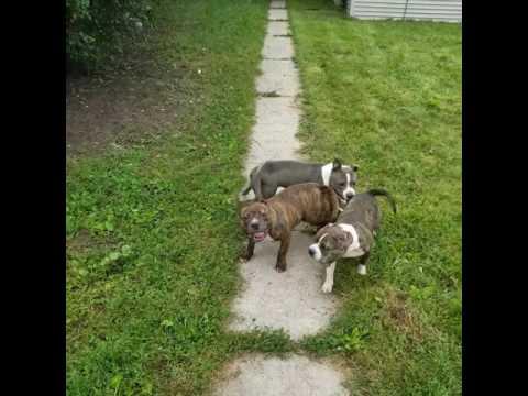 Milwaukee bully puppies