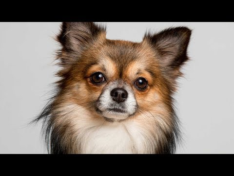 Types of Chihuahuas [Full Length Detailed 2019 Version]