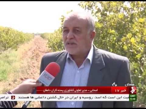 Iran Damqan county, Organic Pistachio harvest برداشت پسته شهرستان دامغان ايران
