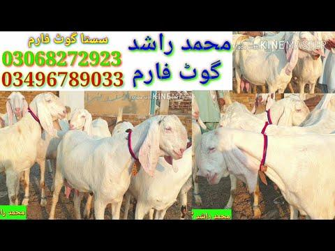 Doodhwali Bakriyan Vitthal Bakriyan Gulabi Bakri Ka Mohammad Pur Mandi Mandi Wala Goat Farm Mandi Wa