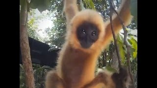 Rescued Gibbon Gets A Stuffed Animal | The Dodo