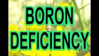 HOW TO IDENTIFY AND TREAT BORON DEFICIENCY IN PLANTS-ADVANTAGES AND BENEFITS OF BORAX (URDU/HINDI)