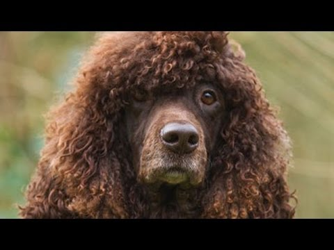 60 Seconds Of Cute Irish Water Spaniel Puppies!