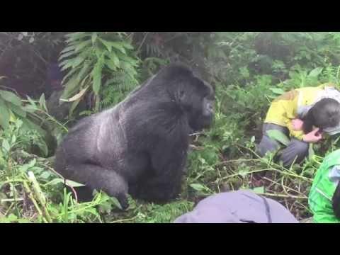 Tense Encounter With A Silverback Mountain Gorilla In Rwanda