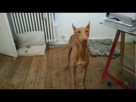Living in France (vlog) Luna Pharaoh hound dog chien du Pharaon lévrier and my cat
