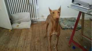 Little update on my Pharaoh Hound Luna. Il now 8 month will be 9 mo...