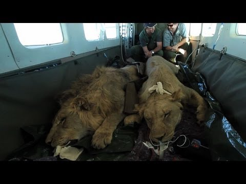 Airlifting lions to a new life in Malawi