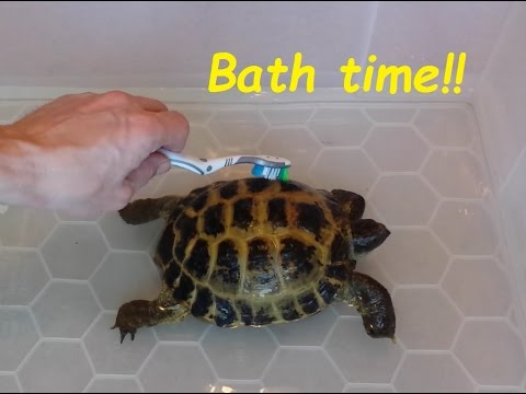 Giving our Tortoise's a bath. Cleaning your Horsefield Tortoises.
