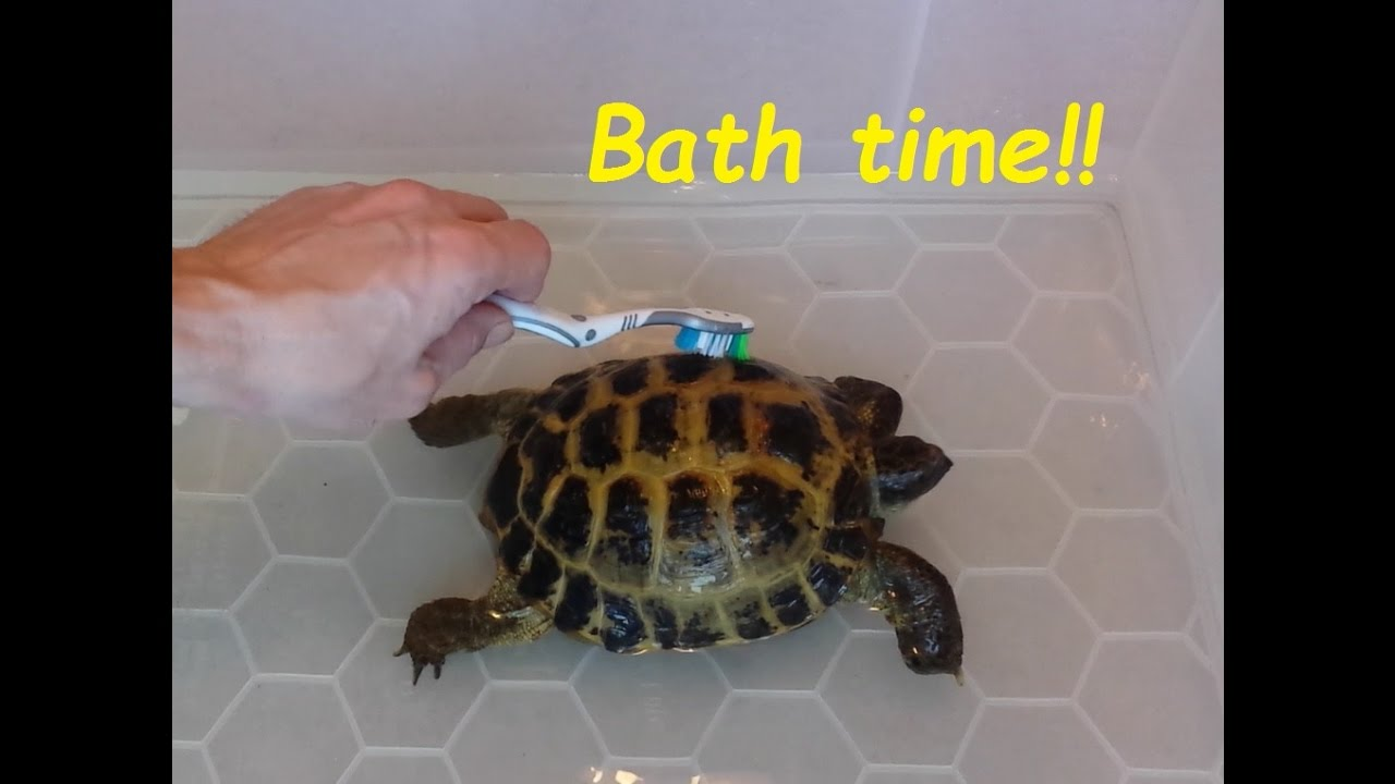 Giving Our Tortoise S A Bath Cleaning Your Horsefield