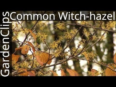 Common Witch Hazel Hamamelis Virginiana Growing Witch Hazel
