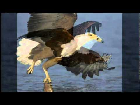 Fish Eagle Calling