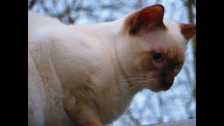 Our Lilac Point Siamese cat Alex is 7 months old. Тhe beginning of January