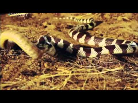 The Buckeye Botanist: Copperhead vs Eastern Black Kingsnake! |King Snake Vs Rattlesnake