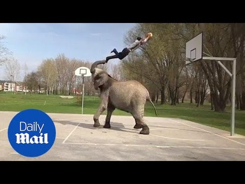 Animal trainer does impressive slam dunk off the trunk of an elephant - Daily Mail